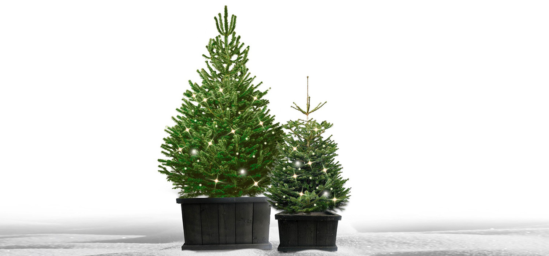 Kant en klare Nordmann kerstboom in houten kist voor buiten tuin