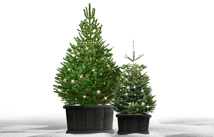 Kerstboom in kist voor buiten